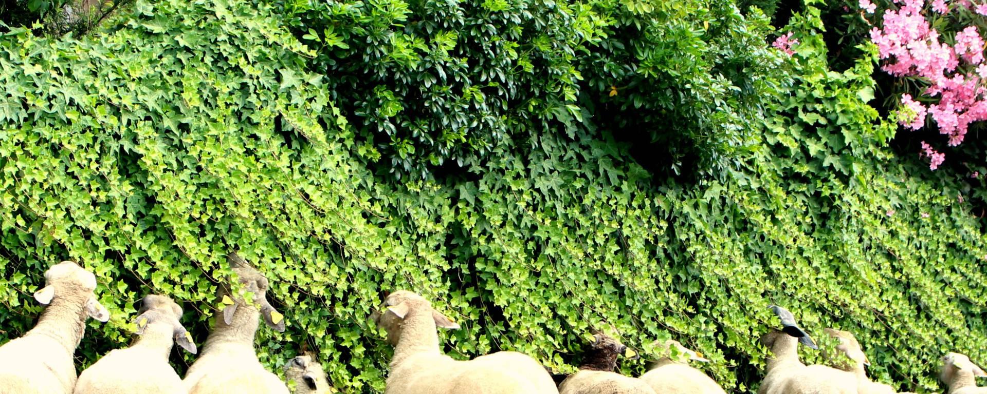 Moutons en plain cœur de ville à Epinay-Sur-Seine