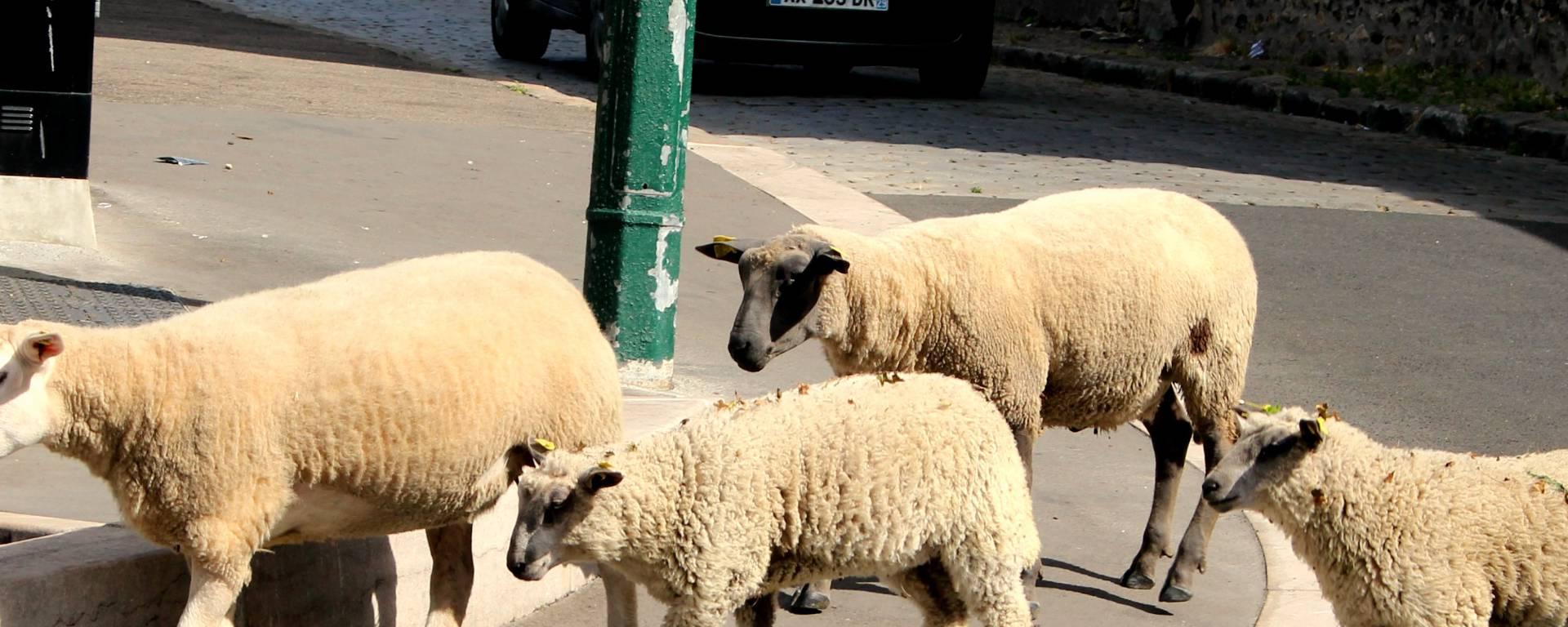 Les moutons en plein air