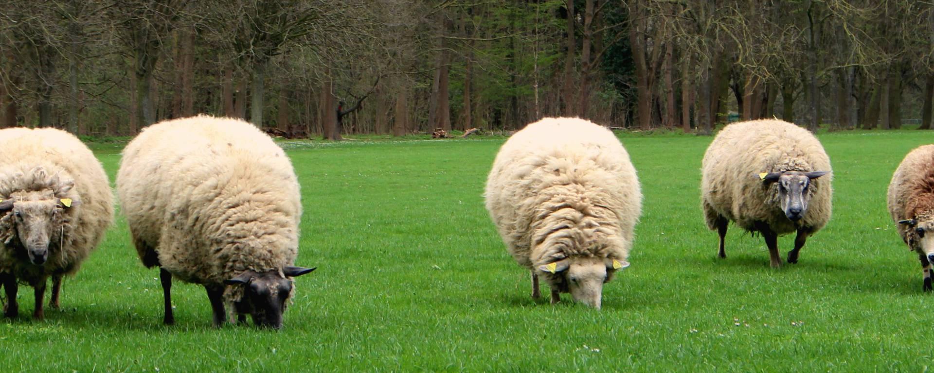 Les moutons au Parc Georges Valbon